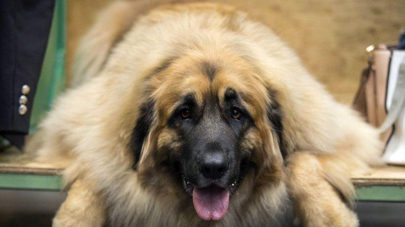 Contagieux: les chiens imitent les bâillements des humains, même ceux des inconnus