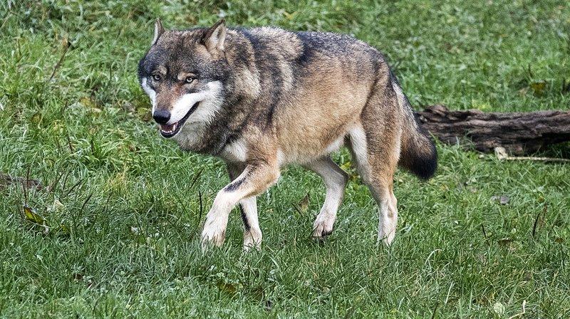 Les cantons doivent informer les éleveurs actifs dans les régions où se trouvent des loups des possibles mesures de protection des troupeaux.