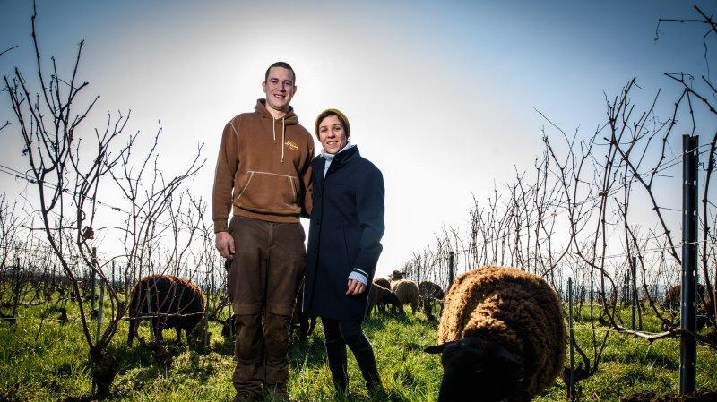 A Echichens, les moutons remplacent tracteur et herbicide