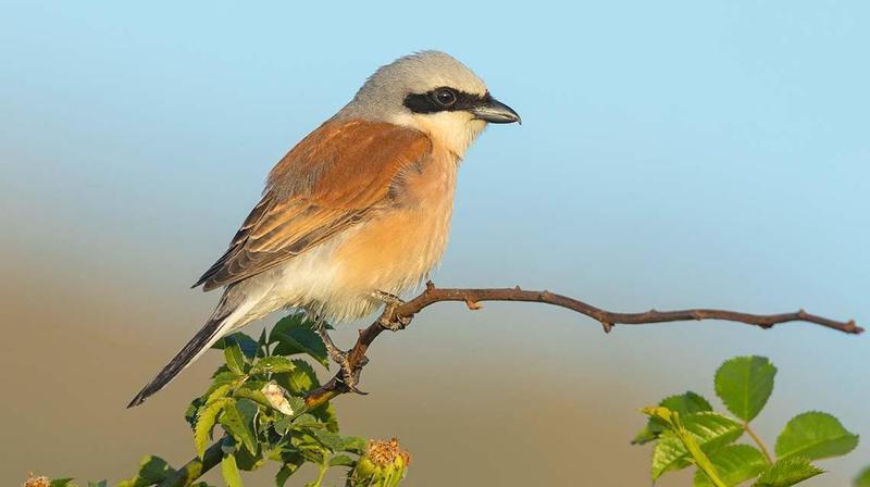 La pie-grièche écorcheur élue oiseau de l'année 2020