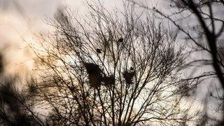 Hurlants, les corbeaux freux déferlent sur La Côte