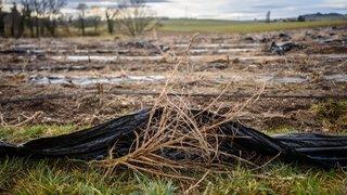 Champs de chanvre pollués au plastique: nouvel ultimatum