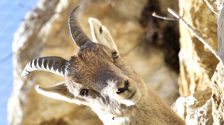 Nature: lebouquetindes Alpes pas forcément tiré d'affaire