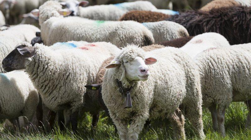 Vevey: moutons volés retrouvés déjà vendus à un éleveur
