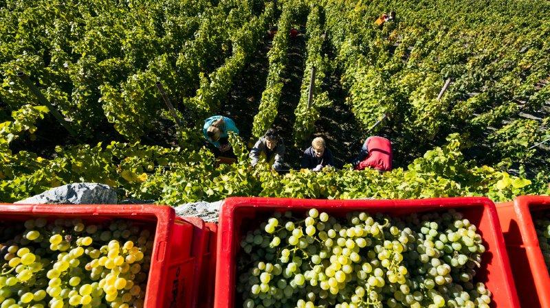 La quantité de raisins était moindre en raison des conditions climatiques.