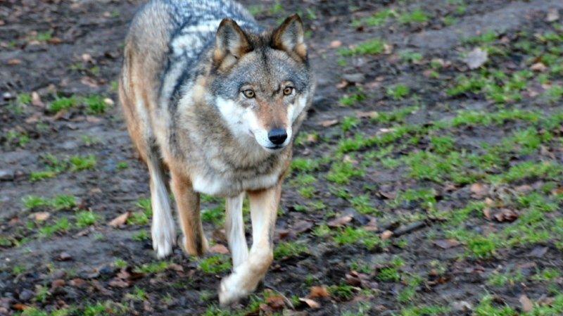 L'actuelle loi sur la chasse remonte à 1985, époque à laquelle aucun loup ne vivait en Suisse (archives).