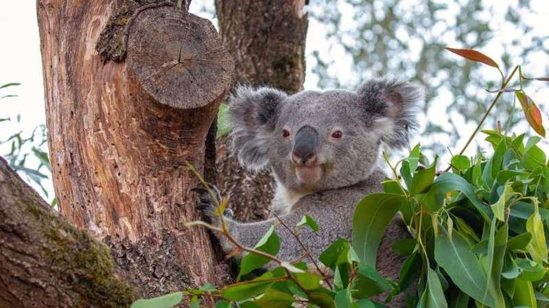 Zoo de Zurich: le koala mâle Milo meurt trois mois après Mikey