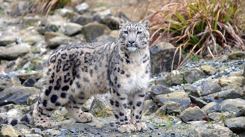 Zoo de Zurich: deux nouveaux léopards des neiges sont arrivés
