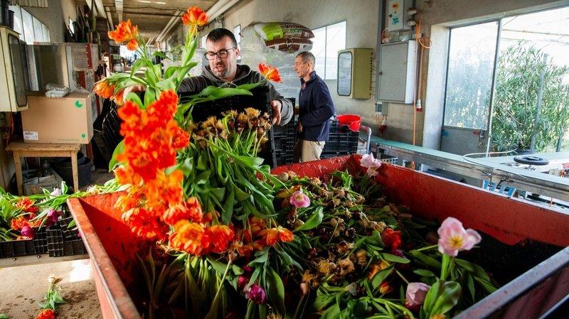 Des milliers de fleurs et de plantes finissent à la benne
