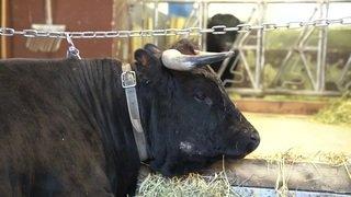 La Fédération suisse d'élevage de la race d'Hérens fêtera ses 100 ans