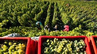 Viticulture: moins de raisins récoltés en 2019, mais un millésime prometteur
