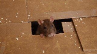Animaux: l'odeur de la faim stimule la générosité des rats
