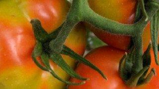 Agriculture: le virus de la tomate aux portes de la Suisse