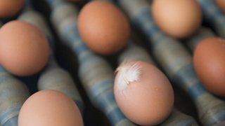 Agriculture: les poules suisses ont pondu un milliard d'oeufs en 2019