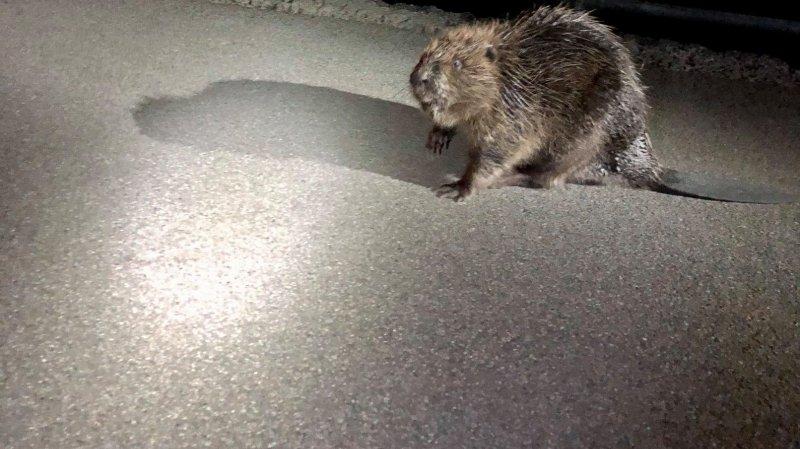 Insolite: un castor errant mobilise la police à Schaffhouse