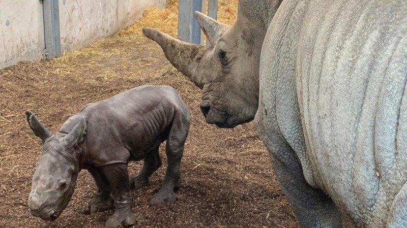 Zoo de Zurich: un premier rhinocéros blanc est né