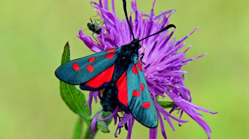 Extinction des espèces: de moins en moins de plantes pour les insectes