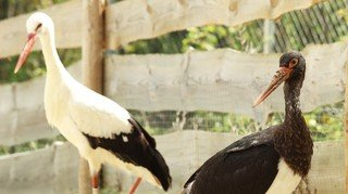 Les cigognes éclopées trouvent refuge à La Garenne