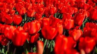 Morges: des tulipes mais pas de fête