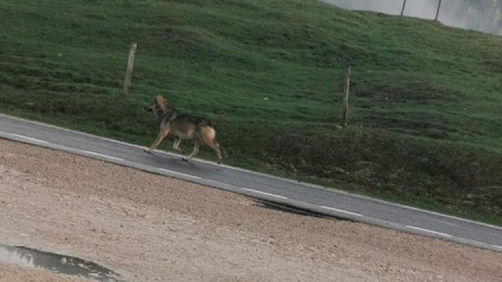 Le loup a été observé le 6 mai à La Givrine.