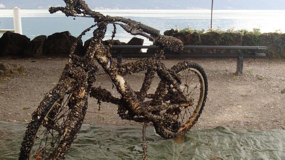 Ce vélo repêché par l'Association de sauvegarde du Léman montre l'emprise des moules.