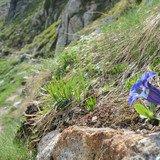 Plantes alpines, gagnantes ou perdantes face au dérèglement climatique ?