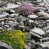 Plantes alpines et dérèglement climatique