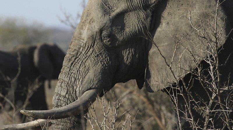 Botswana: mort mystérieuse de centaines d'éléphants