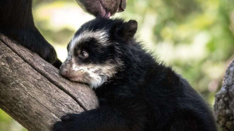 """Zoo de Zurich: né en février, un ourson sort enfin de sa """"tanière"""""""