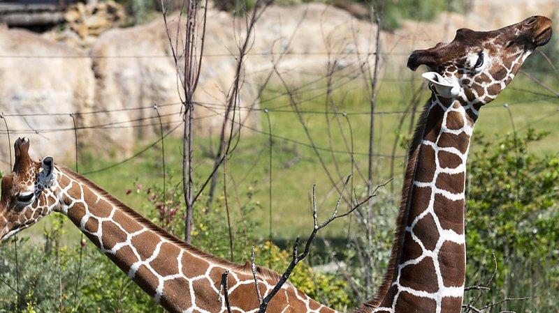 Zoo de Zurich: la savane africaine attend les visiteurs dès samedi