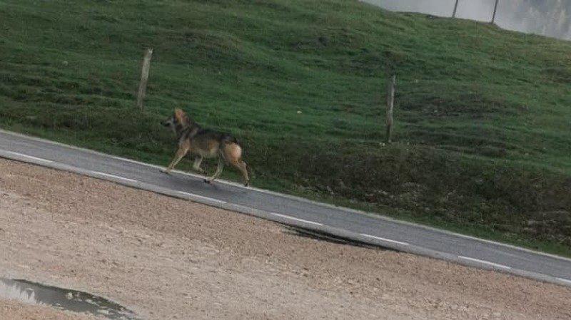 Un loup aperçu en balade à La Givrine