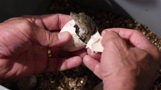 Naissance de bébés crocodiles sacrés à Aquatis