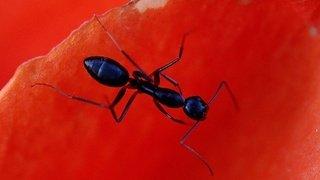 Biodiversité: les fourmis sont aussi victimes des insecticides