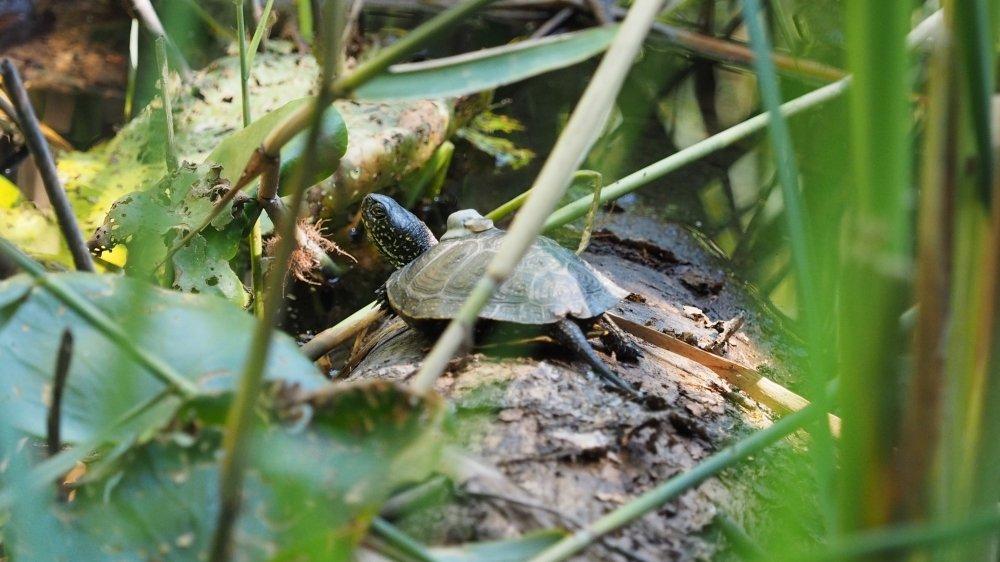 Une cistude cachée dans la végétation à la Vieille-Thielle (NE).