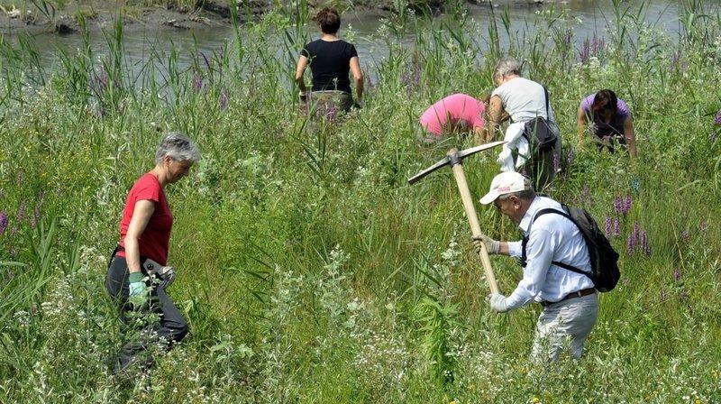 Environnement: quelles sont ces plantes qui nous envahissent et comment les éradiquer?