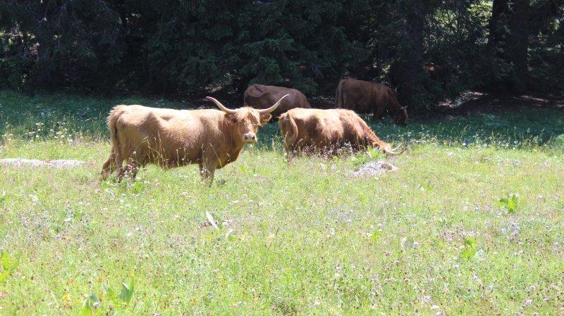 La buvette des Croisettes, au royaume de la vache Highland