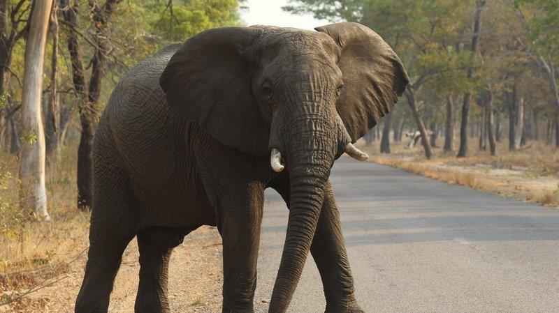 Le plus grand des mammifères coure lui aussi un risque d'extinction. (illustration)