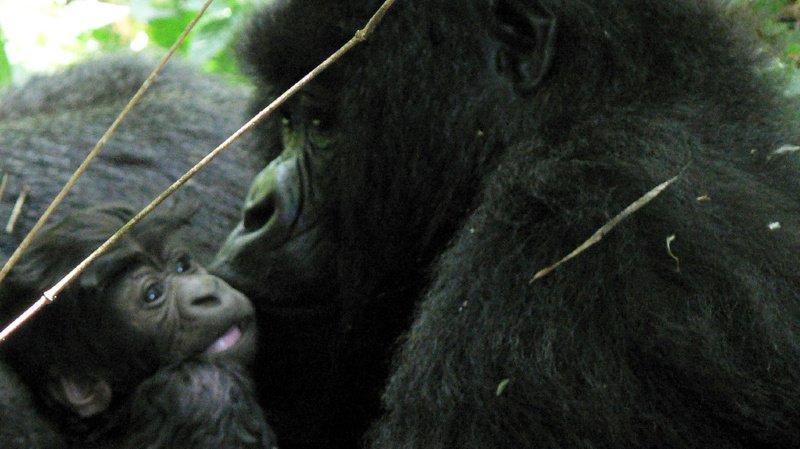 """L'espèce des gorilles des montagnes, à laquelle appartenait Rafiki, est classée dans la catégorie """"en danger"""" sur la liste rouge des espèces menacées de l'UICN (ILLUSTRATION)."""