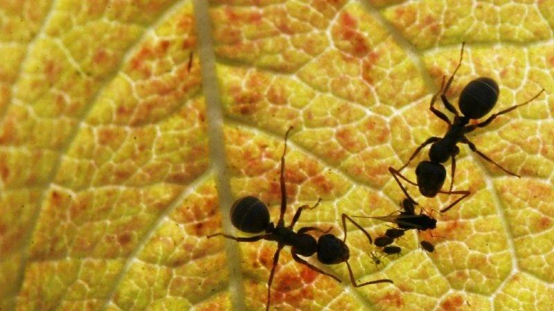 Les fourmis transportent les graines de plantes et en sèment parfois derrière elles.