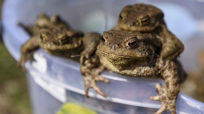 La polygamie n'avait, jusqu'à la publication de l'étude, jamais été décrite chez un amphibien (IMAGE SYMBOLIQUE/ARCHIVES).