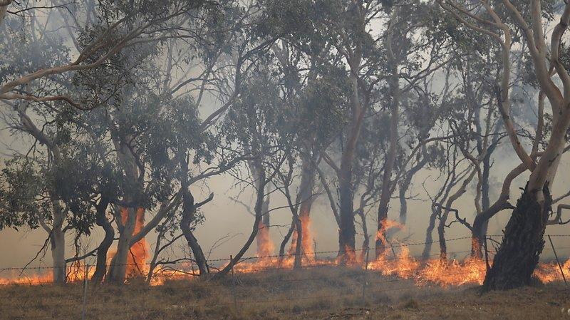 Feux de forêts en Australie: près de 3 milliards d'animaux ont été tués ou déplacés