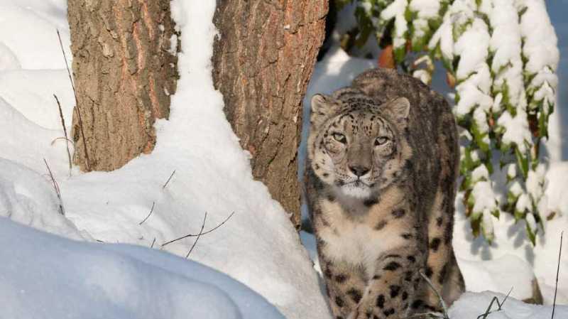 Animaux: le léopard des neiges Villy est mort au zoo de Zurich à l'âge de 17 ans