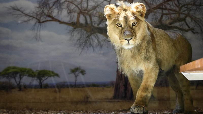 Makuti, un jeune lion d'un an et demi, est arrivé mardi au zoo de Servion.