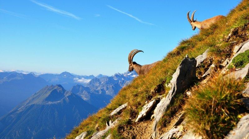 Prendre de la hauteur en Valais, avec les bouquetins et les marmottes