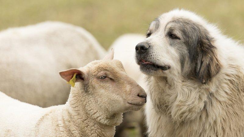 Au Creux du Croue, chiens de troupeau et randonneurs peinent à cohabiter