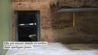 La lionne Malkia est arrivée au zoo de Servion