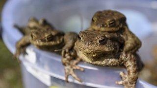 Biologie: les grenouilles aussi peuvent avoir un harem de reproduction