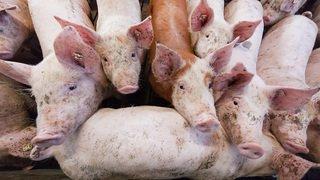 Elevage intensif: le Conseil fédéral veut mieux protéger la dignité animale