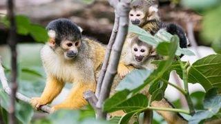Huit singes-écureuils sont nés au zoo de Bâle