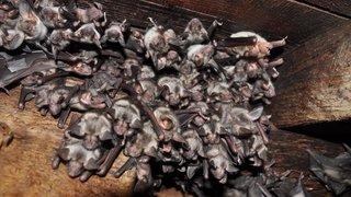 Eysins, temple d'une des plus précieuses colonies de chauves-souris de Suisse